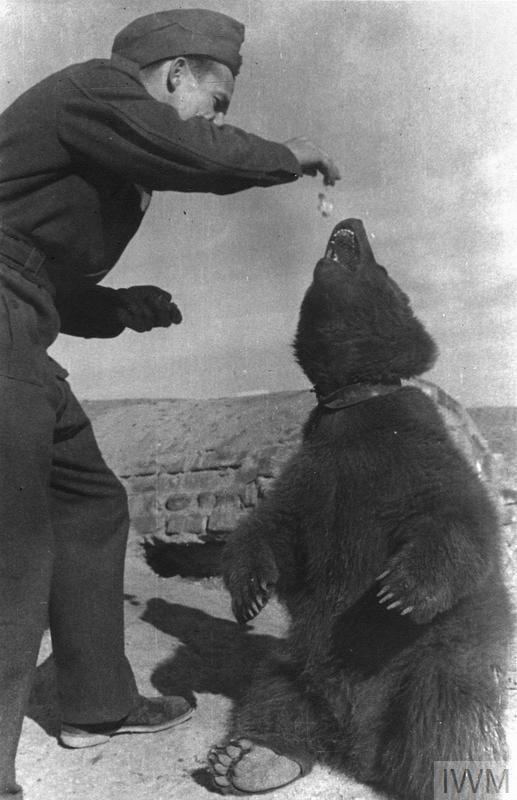 THE POLISH ARMY IN THE MIDDLE EAST, 1942-1943 (HU 128104) Wojtek (Voytek), the mascot bear of the 22nd Transport Artillery Company (Army Service Corps, 2nd Polish Corps) being fed by one of the Company's soldiers, 1943. Copyright: © IWM. Original Source: http://www.iwm.org.uk/collections/item/object/205394121